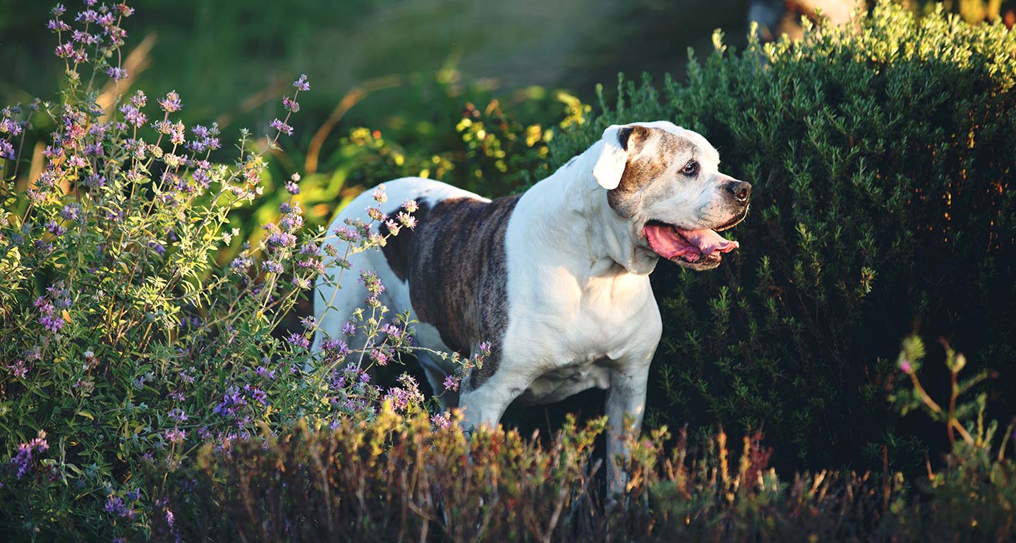 American Bulldog Temperament and Personality