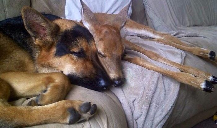 German Shepherd Dog Tries To Comforting The Orphaned Fawns 03