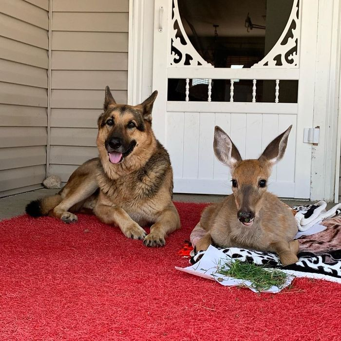 German Shepherd Dog Tries To Comforting The Orphaned Fawns 04