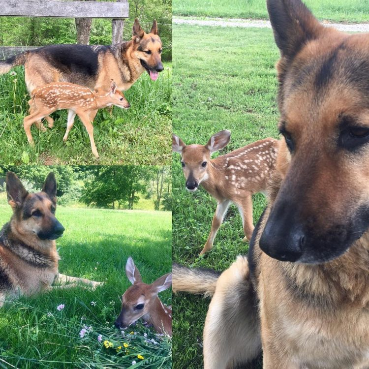 German Shepherd Dog Tries To Comforting The Orphaned Fawns 05