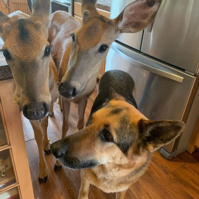 German Shepherd Dog Tries To Comforting The Orphaned Fawns 06