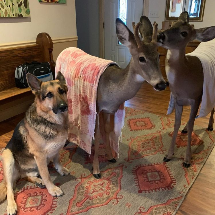 German Shepherd Dog Tries To Comforting The Orphaned Fawns 07