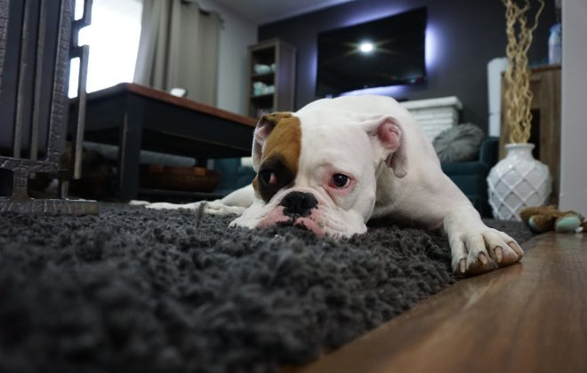 Tips for Finding Pet-Friendly Carpeting