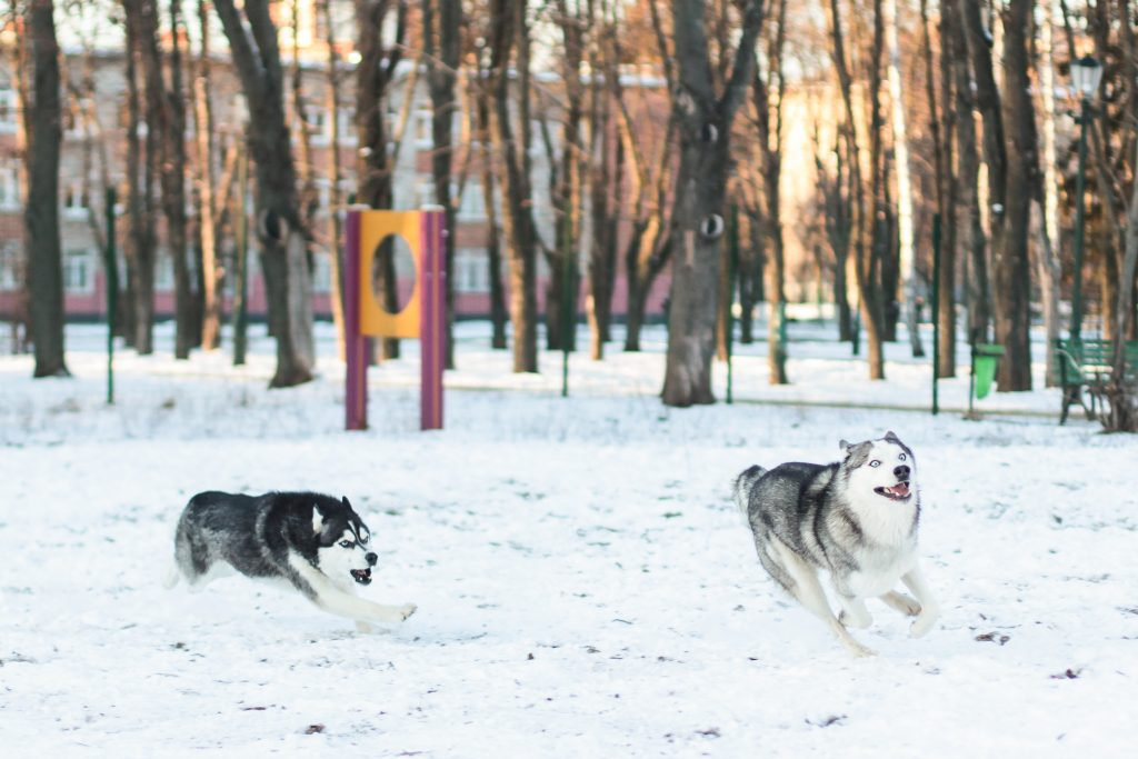 What is Husky Breed Basically?