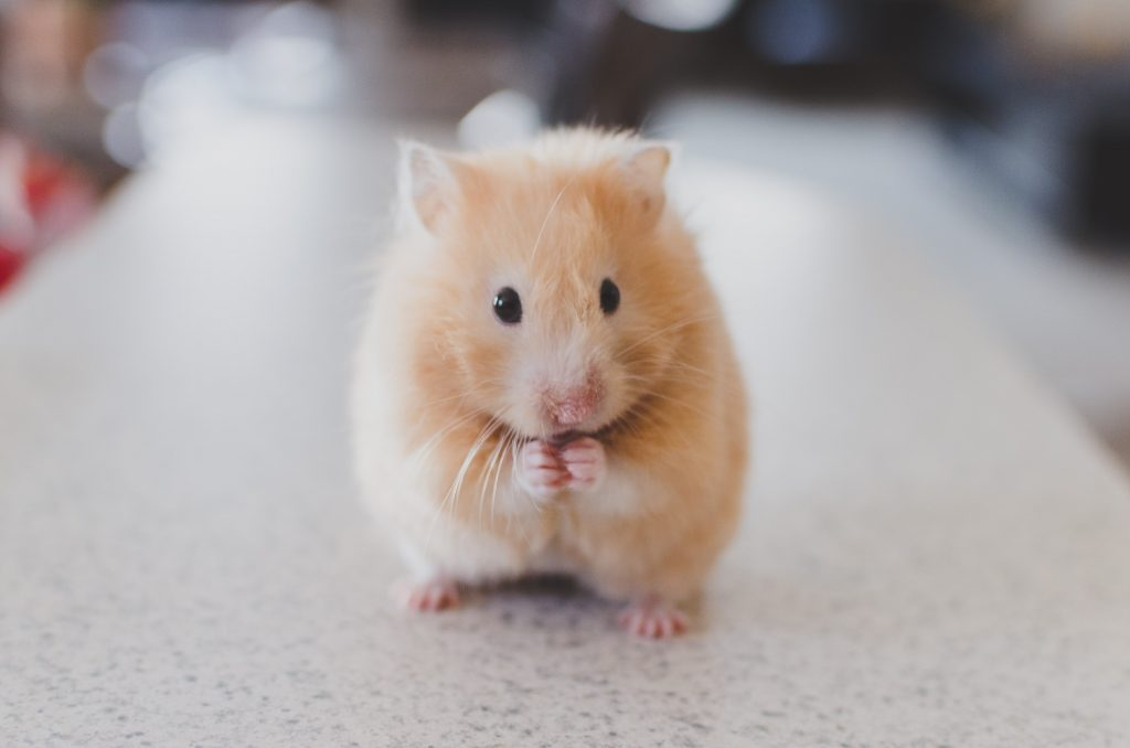 Can hamster eat beef and meat