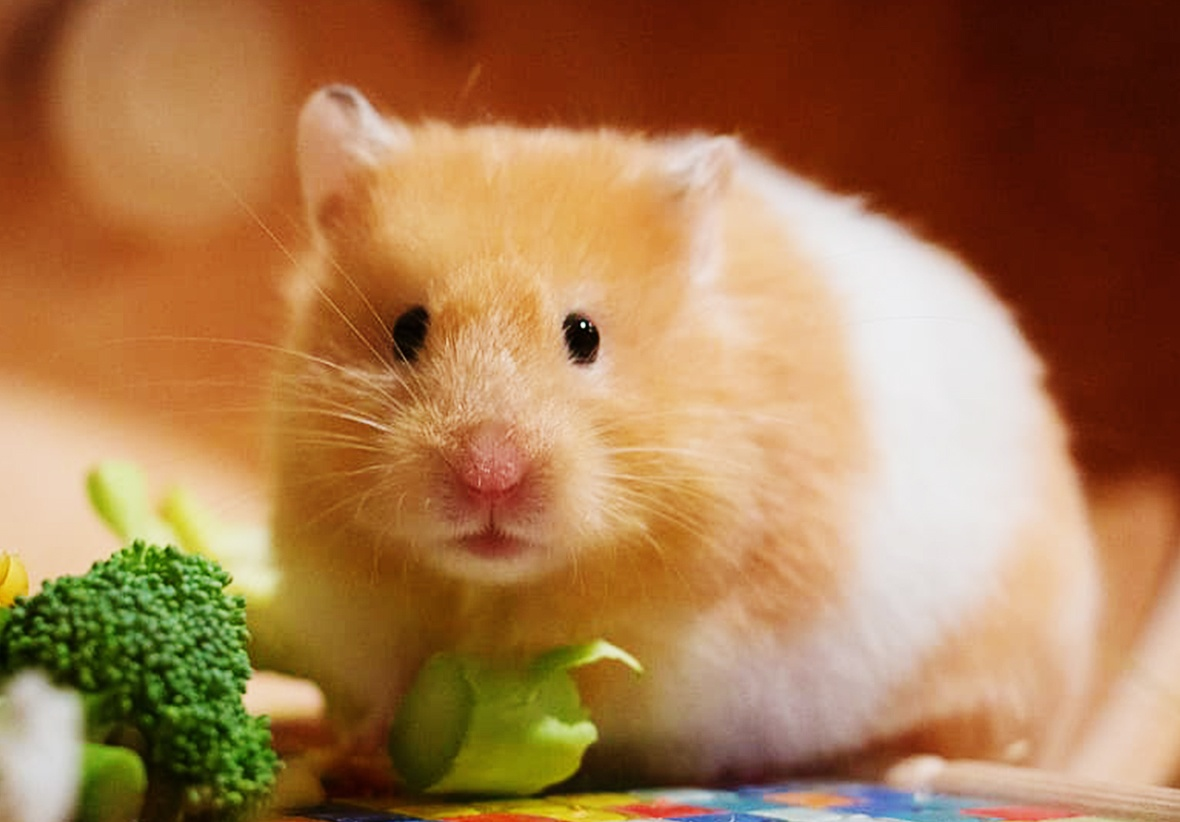 Can hamsters eat lettuce and celery
