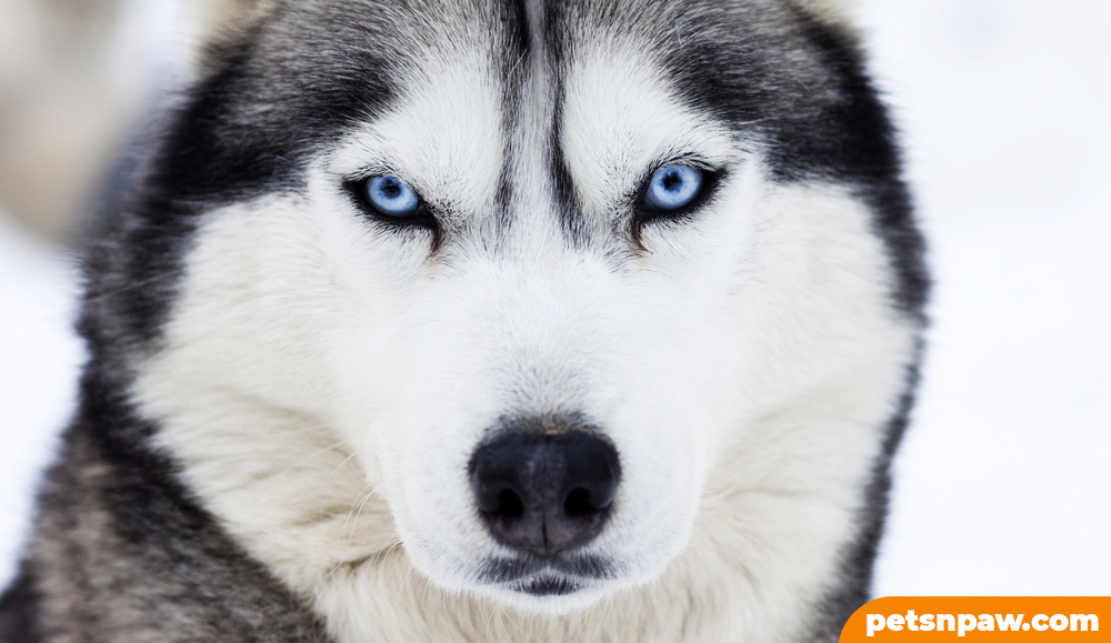 How could huskies be dangerous