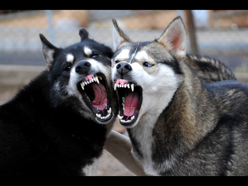 How to prevent your husky from being aggressive or dangerous