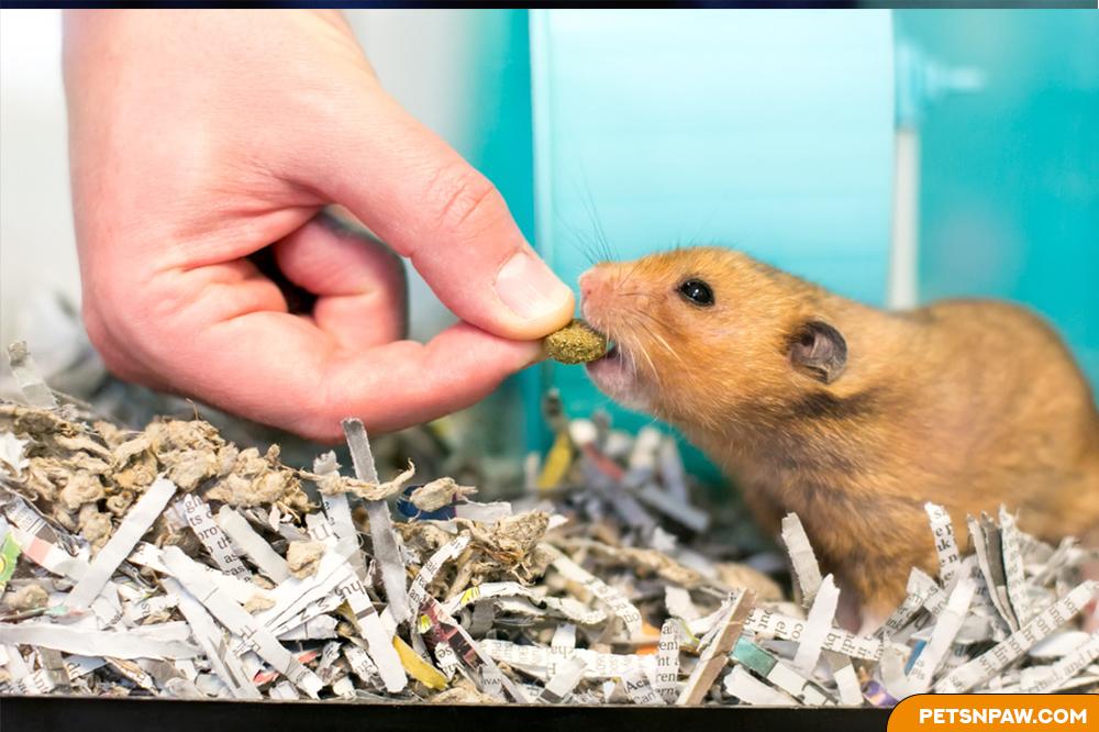 Best hamsters treat