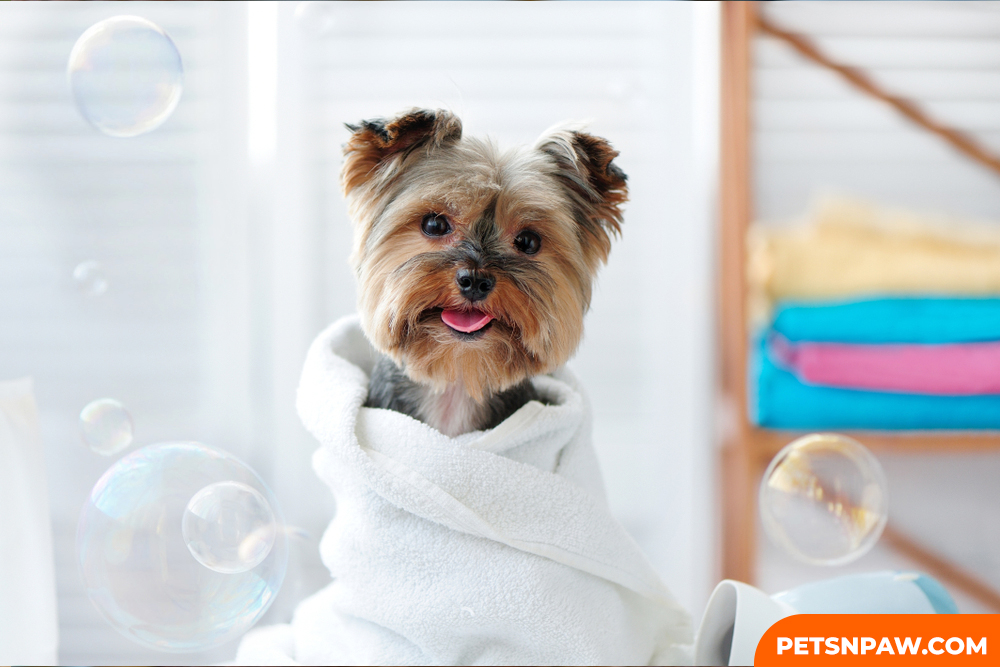YORKIE POOS ARE QUICK LEARNERS AND TRAINING THEM IS SO SIMPLE