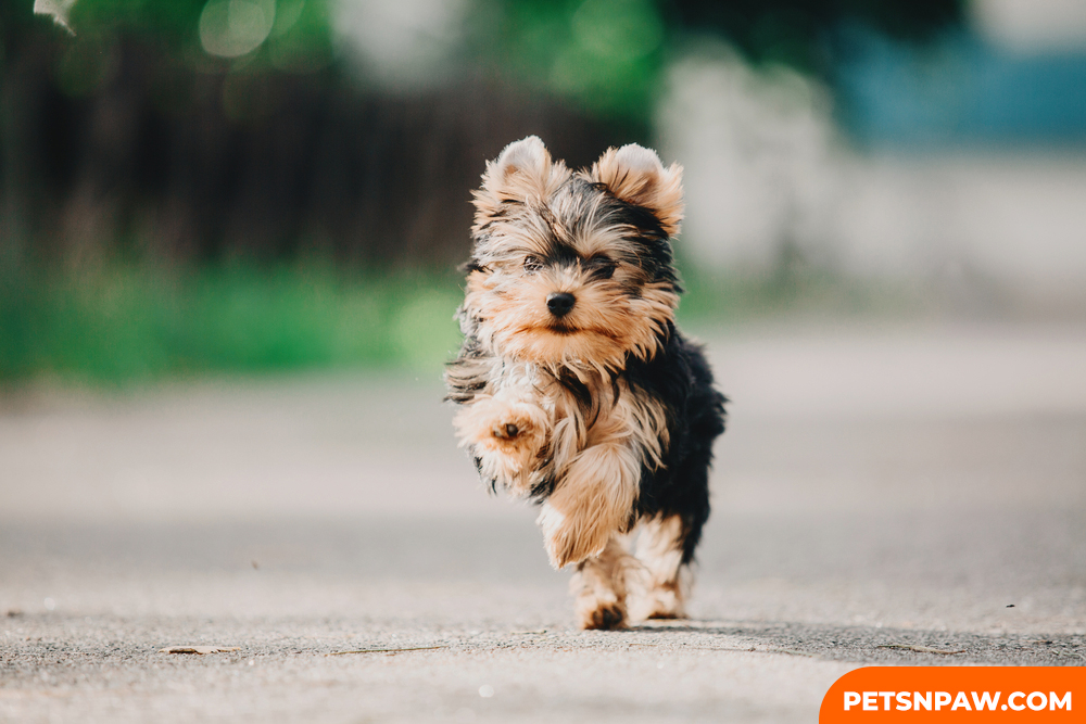 YORKIE POO CAN LIVE UP TO 15 YEARS.