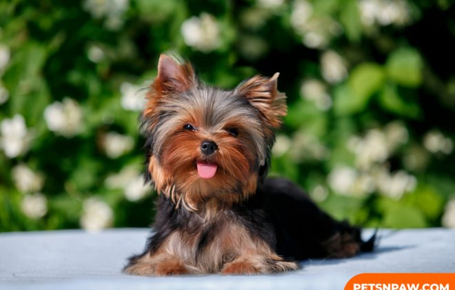 Yorkie Poos Breed - 6 things you need to know